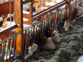How Technology has Revolutionized Dairy Farming